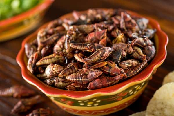 fried mexican grasshoppers